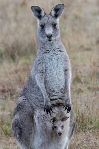 Skippy Wall Art - Photograph - Kangaroo And Joey by Stuart Mackenzie