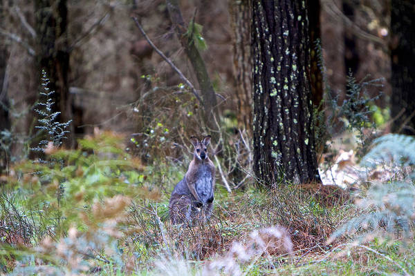 Skippy Wall Art - Photograph - Kangaroo In The Forest by Michelle Ngaire