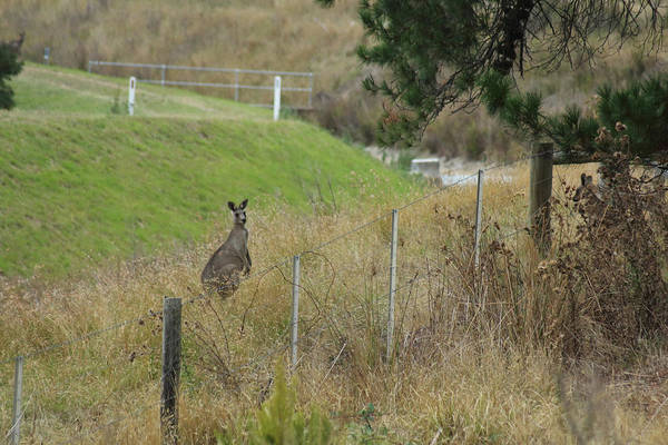 Photograph - Kangaroo In Yarra Glen 06-03-2015 by Bert Ernie