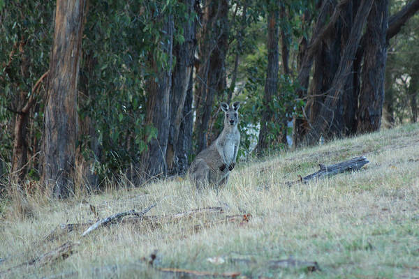Photograph - Kangaroo In Yarra Glen 18-03-2015 by Bert Ernie