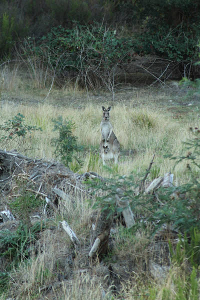 Photograph - Kangaroo With Joey In Pouch Yarra Glen 08-03-2015 by Bert Ernie
