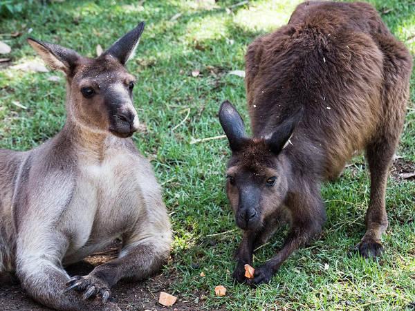Photograph - Kangaroos by Walt Sterneman