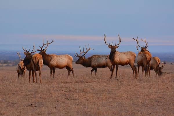 Photograph - Kansas Elk Panarama by Keith Stokes