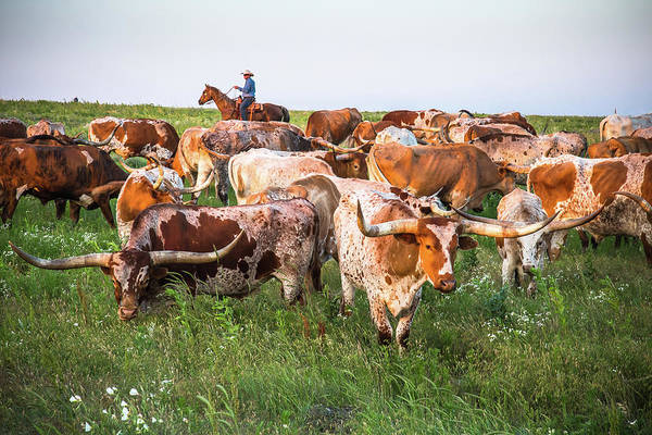 Cowhide Wall Art - Photograph - Kansas Flint Hills Longhorns by Steven Bateson