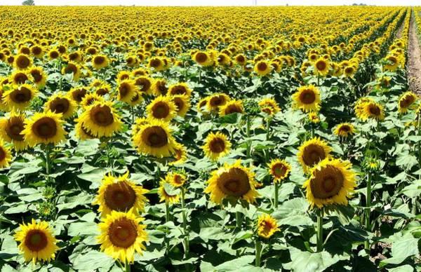 Photograph - Kansas Sunflower Field by Keith Stokes