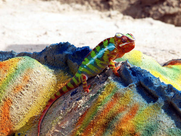 Photograph - Karma Kameleon  by Bruce Gannon