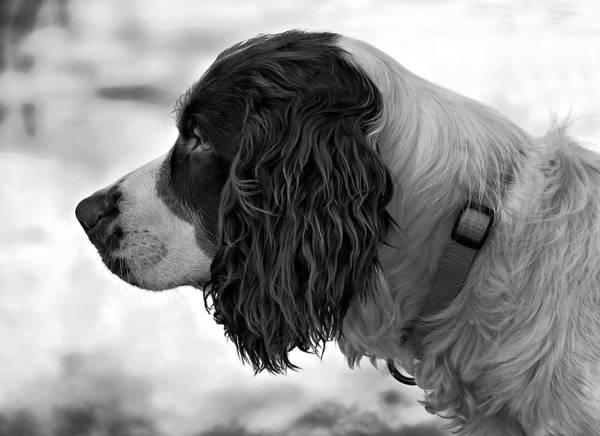 Springer Spaniel Photograph - Kaya Monochrome by Steve Harrington
