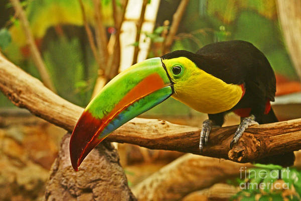 Keel-billed Toucan Photograph - Keel-billed Toucan, Costa Rica by Blair Seitz