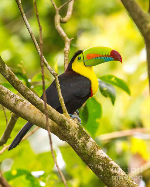 Keel-billed Toucan Photograph - Keel Billed Toucan by Todd Bielby