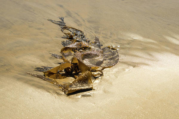Photograph - Kelp Cameo - Beach Art By Mother Nature  by Georgia Mizuleva