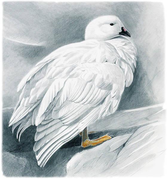 Goose Drawing - Kelp Goose by Dag Peterson