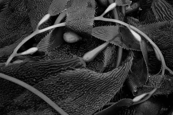 Photograph - Kelp IIi Bw by David Gordon