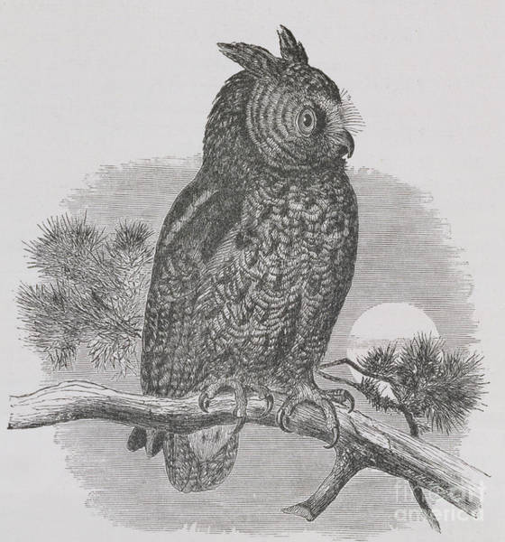 Nocturnal Drawing - Kennicott's Owl by HH Nicholls
