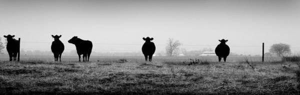 Kentucky Cows Art Print
