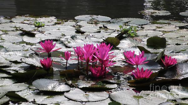 Photograph - Kerala Canal Lilies by PJ Boylan