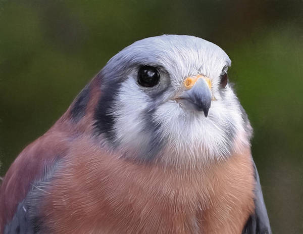 Photograph - Kestral by Wes and Dotty Weber