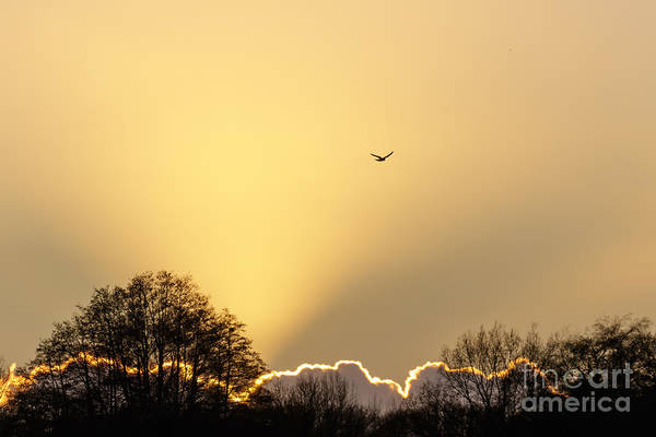 Photograph - Kestrel Hunting At Sunset by Paul Farnfield