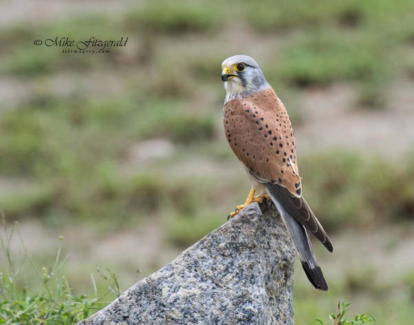 Photograph - Kestrel On The Rocks by Mike Fitzgerald