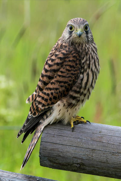 Photograph - Kestrel Perching On The Edge by Torbjorn Swenelius
