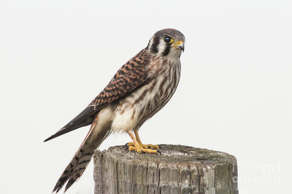 Bird Watcher Photograph - Kestrel Portrait by Robert Frederick