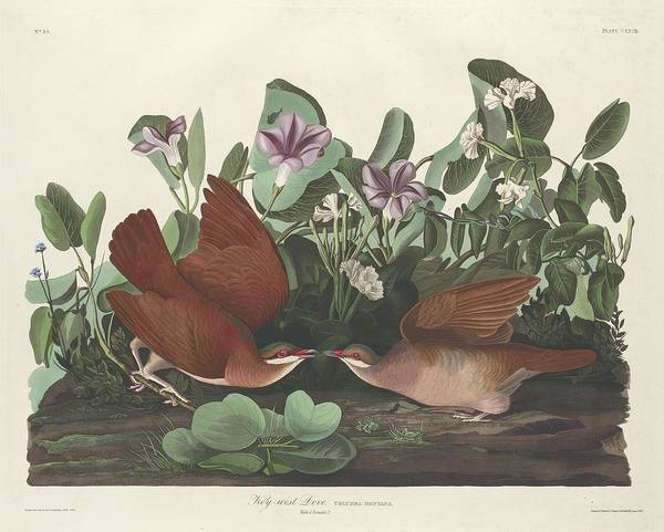 Wall Art - Drawing - Key-west Dove by Dreyer Wildlife Print Collections