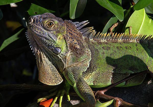 Photograph - Key West Green Iguana by Bob Slitzan