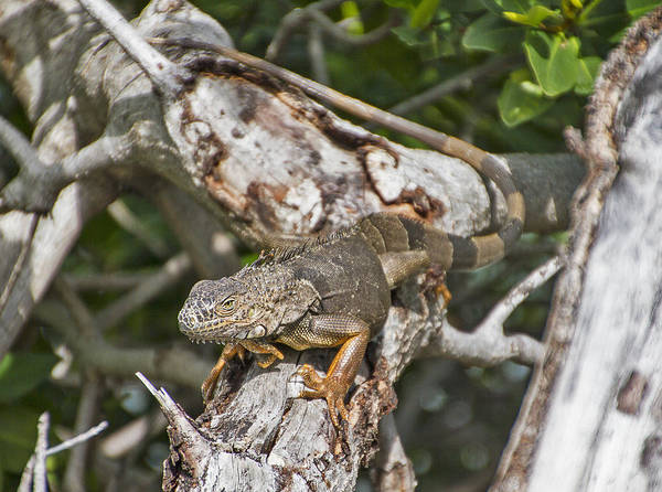 Photograph - Key West Iguana In Mangrove 2 by Bob Slitzan