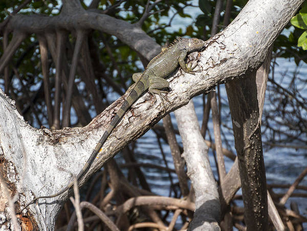 Photograph - Key West Iguana In Mangrove 3 by Bob Slitzan