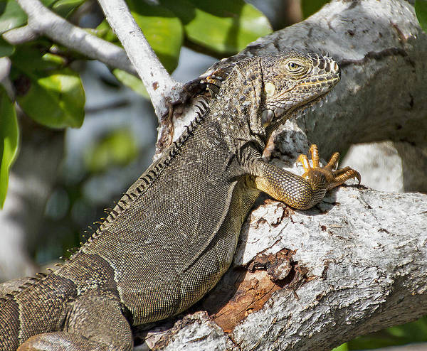 Photograph - Key West Iguana In Mangrove by Bob Slitzan