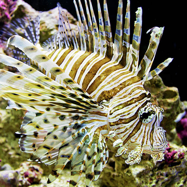 Photograph - Key West Lionfish by Bob Slitzan