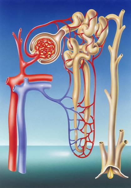 Wall Art - Photograph - Kidney Filtration System by John Bavosi