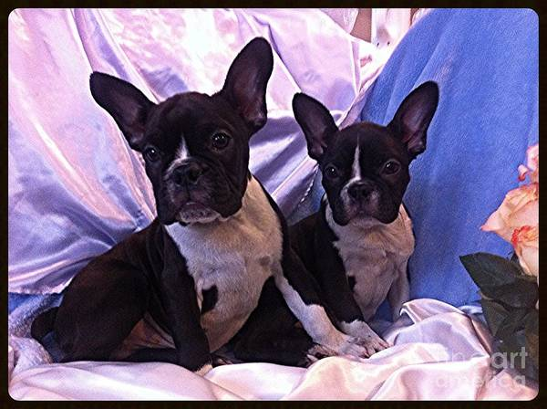 Photograph - Kiki The Frenchie  by Ultra Violet