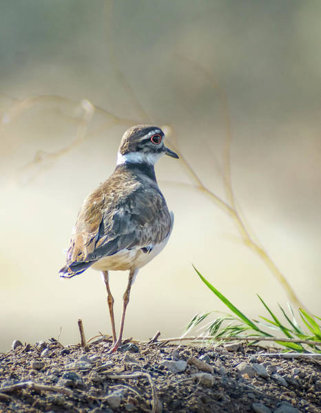 Photograph - Killdeer -charadrius Vociferus by Rick Mosher