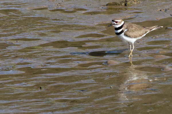 Photograph - Killdeer Hunting by John Benedict