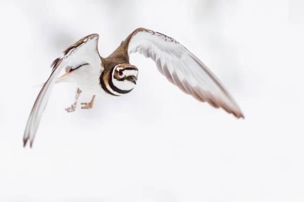 Photograph - Killdeer In Flight by Bill Wakeley