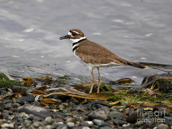 Photograph - Killdeer In The Weeds by Sue Harper