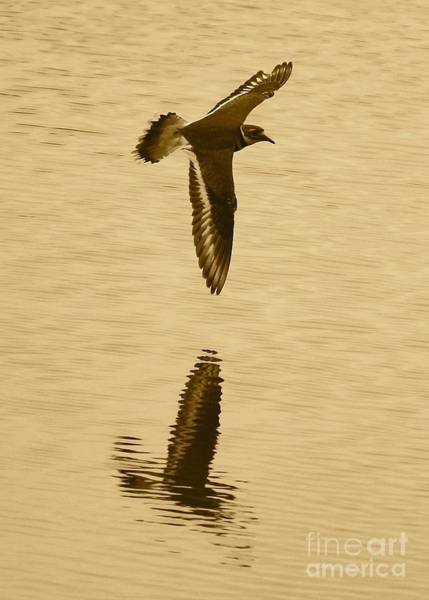 Killdeer Photograph - Killdeer Over The Pond by Carol Groenen