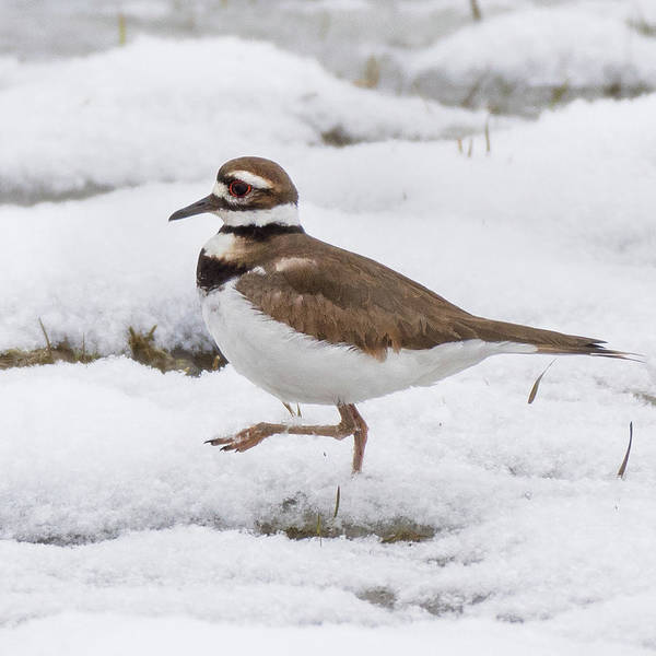 Photograph - Killdeer Square by Bill Wakeley