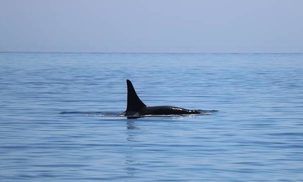 Photograph - Wild Orca - 1 by Christy Pooschke