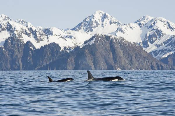 Wall Art - Photograph - Killer Whale, Or Orcas, Orcinus Orca by Steven Kazlowski