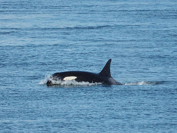 Blackfish Wall Art - Photograph - Killer Whale by Stephanie McDowell