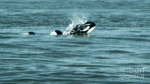 Photograph - Killer Whale by Wilko Van de Kamp