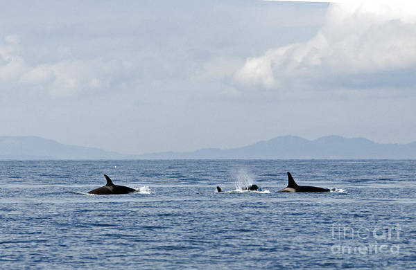 Photograph - Killer Whales by Cindy Murphy - NightVisions