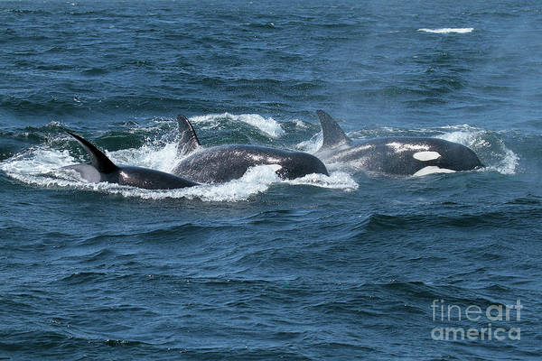 Photograph - Killer Whales- Orcas In Monterey Bay May 11, 2017 by California Views Archives Mr Pat Hathaway Archives