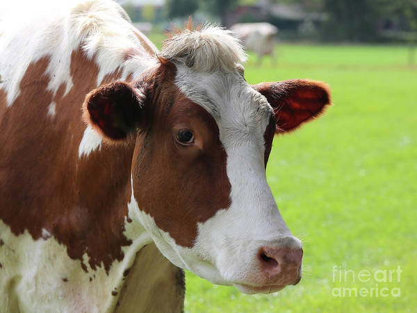 Photograph - Kind Cow by Carol Groenen