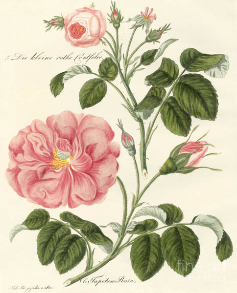 Pink Drawing - Kinds Of Roses by German School