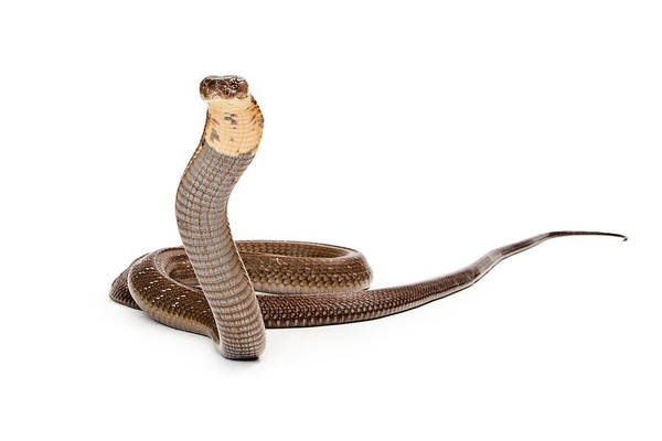Serpent Photograph - King Cobra Snake Looking Into Camera by Susan Schmitz