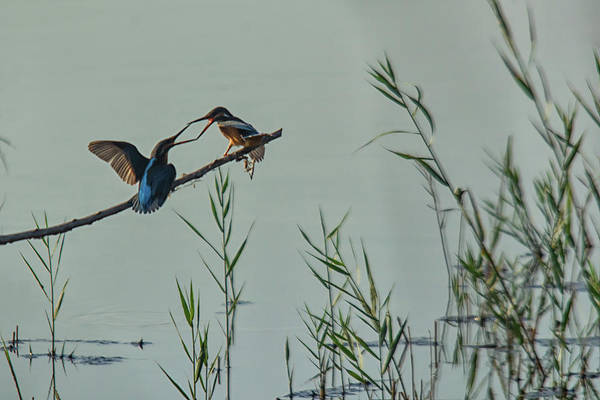Photograph - King Fishers  by Cliff Norton