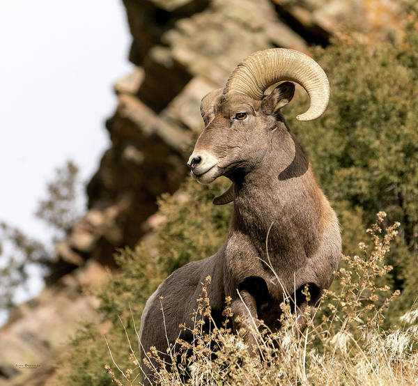 Photograph - King Of His Domain - The Bighorn Ram by Judi Dressler