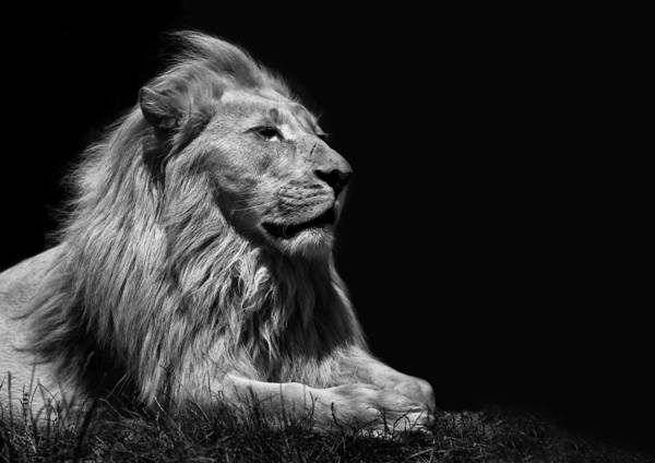 Carnivore Photograph - King Of The Beasts by Nigel Jones